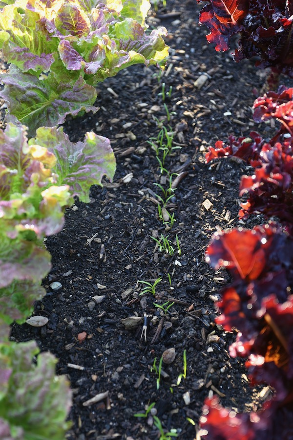 Carrots intersown between lettuce
