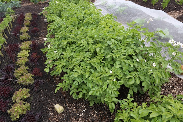 Charlotte potatoes flowering soon ready