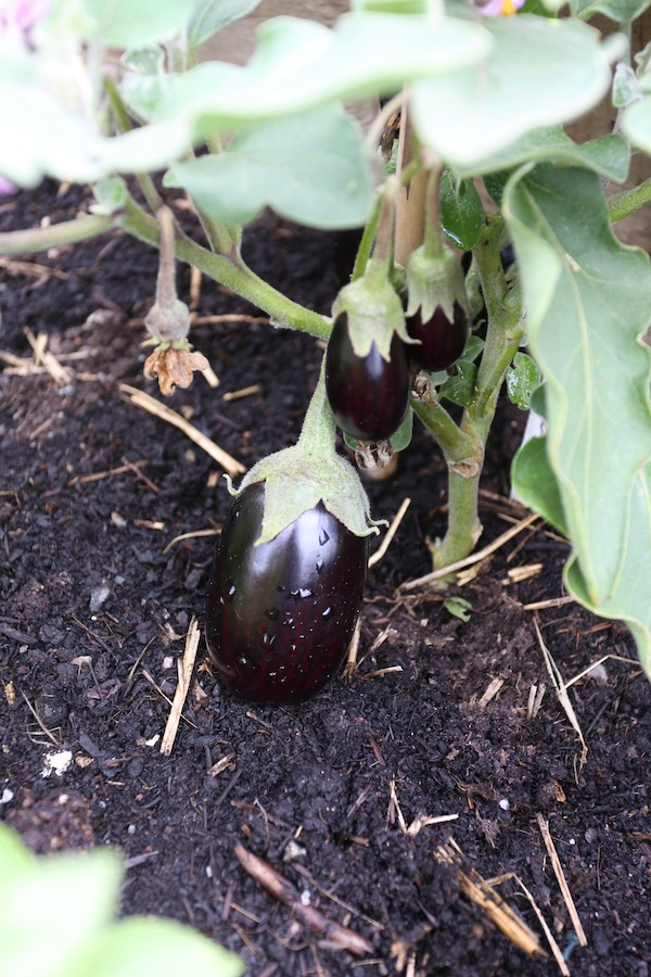 Pot Black aubergine