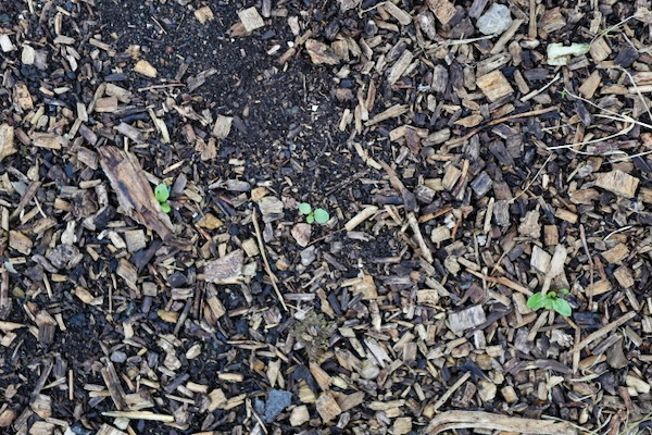 Dandelion seedlings in path