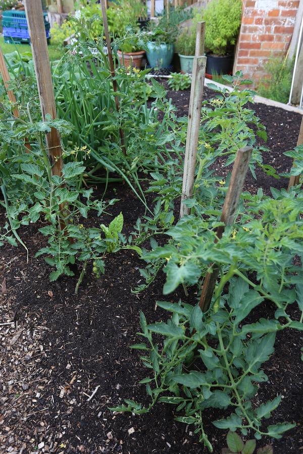 Tomato plantings small garden