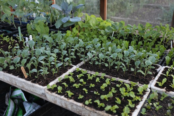 More seedlings pricked out include broccoli