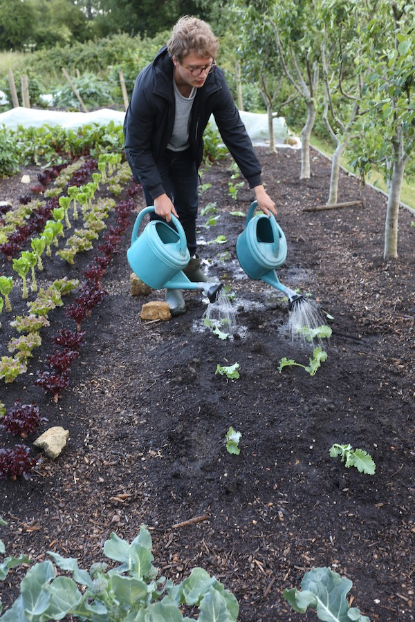 Watering kale transplants with cans