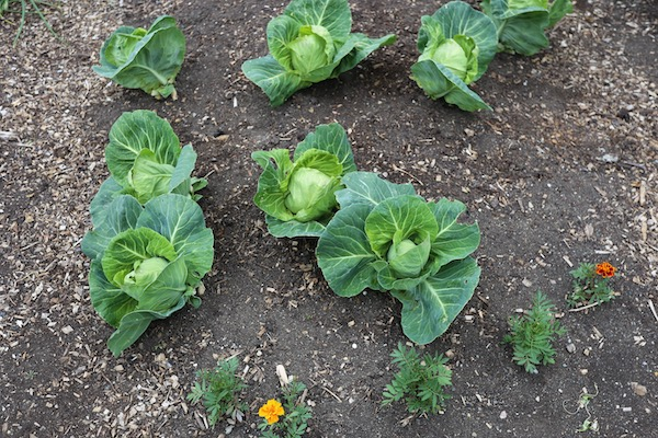 Cabbages heading, half harvested