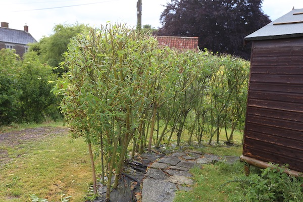 Willow hedge after pruning early June