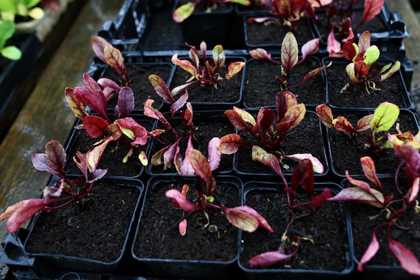 Nutrient deficiencies in beetroot leaves