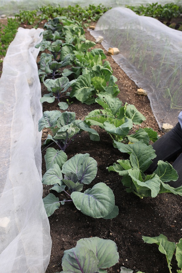 Cabbage plants in ground one month