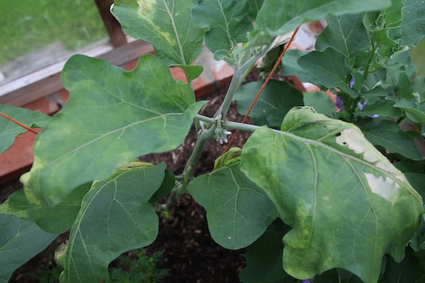 Aubergine plant dying from I think a bacterial problem