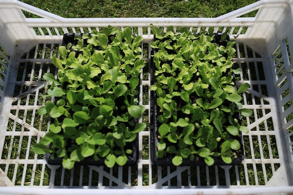 Comparing lettuce growth in two composts