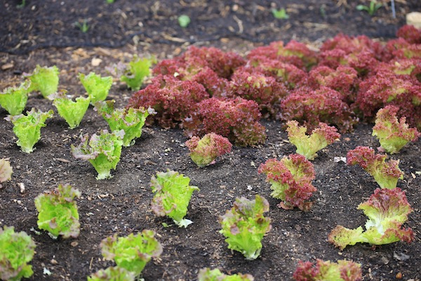 Summer lettuce, first leaf pick
