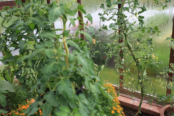 Healthy beefsteak tomatoes, unhealthy cherry tomato plant