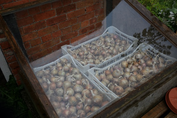 Rose de Roscoff onions in cold frame