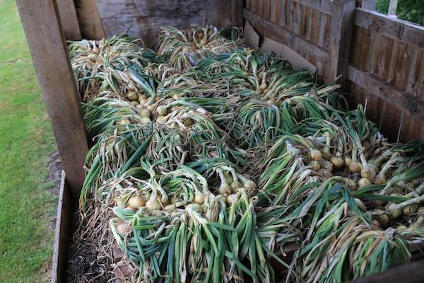 Onions drying in trays on pallets