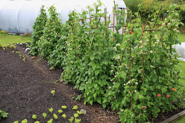 Climbing beans transplanted 65 days ago