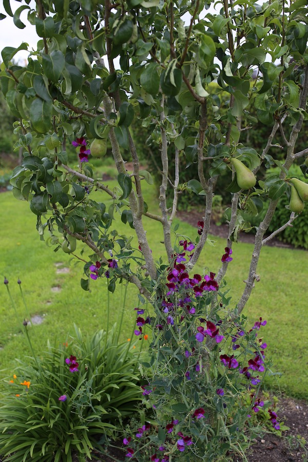 Self sown sweet pea in pear tree