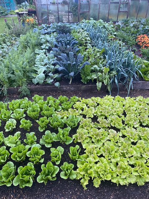 Lettuce and many second plantings