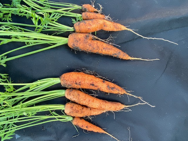 Carrot comparison no dig