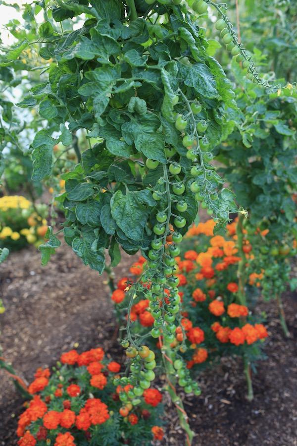 Arielle tomato plant polytunnel