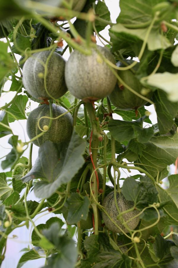 Minnesota Midget melon plant