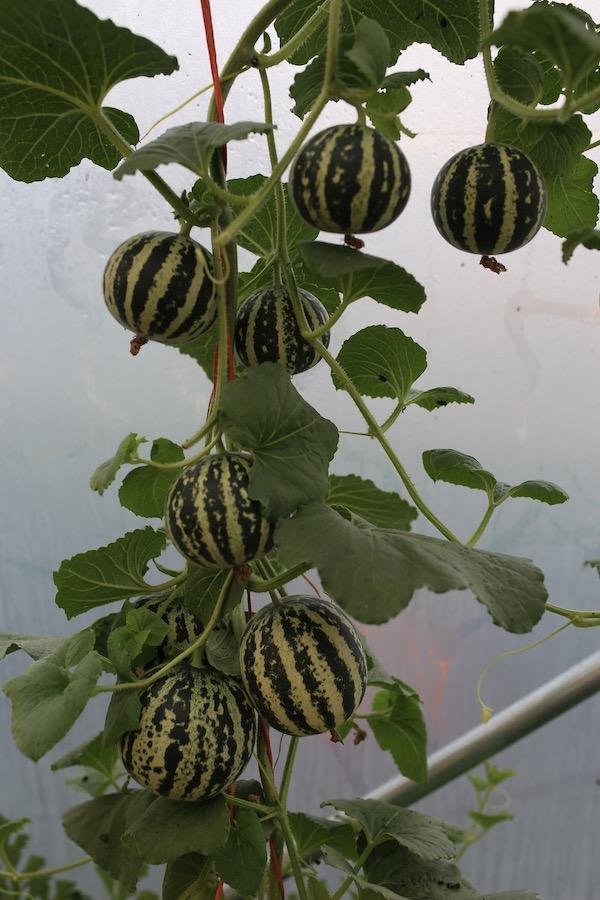 Tiger melon plant