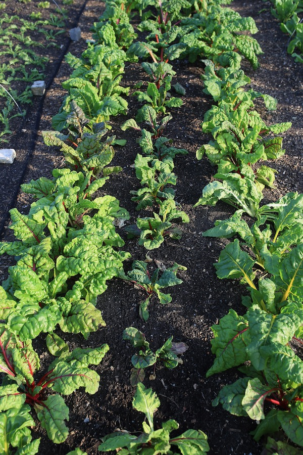 Chard plants drier in the middle