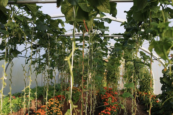 Cordon cucumbers in the polytunnel