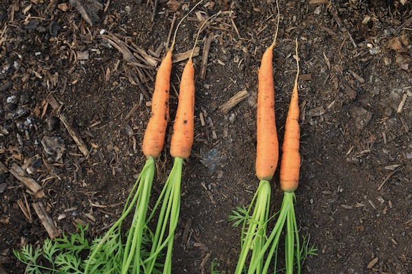 Carrots, 66 days since sowing