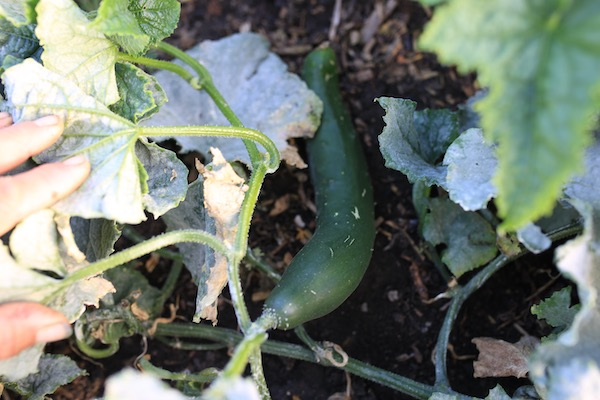 Ridge cucumber with leaf mildew