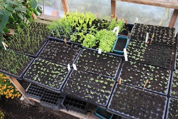 13th August greenhouse seedlings