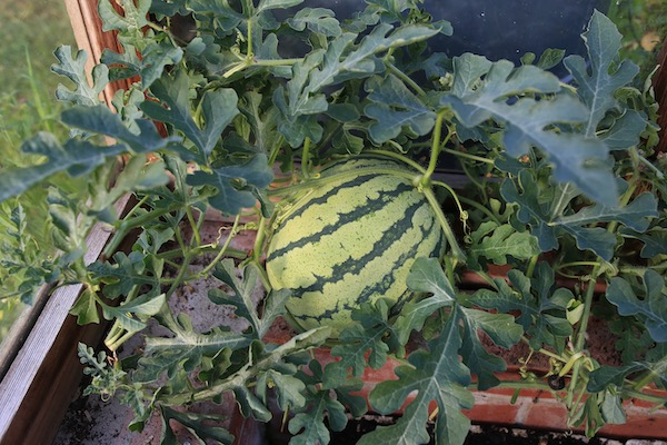 Watermelon Early Moonbeam