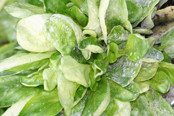 Mildew on lambs lettuce from dry conditions