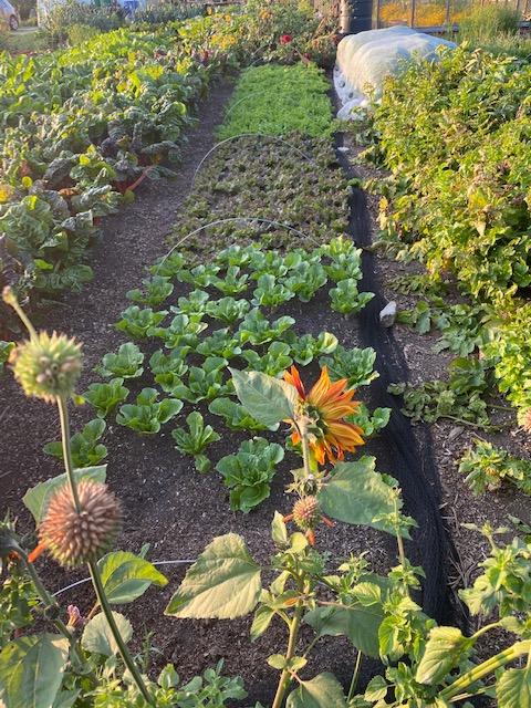 Lettuce and endive bed