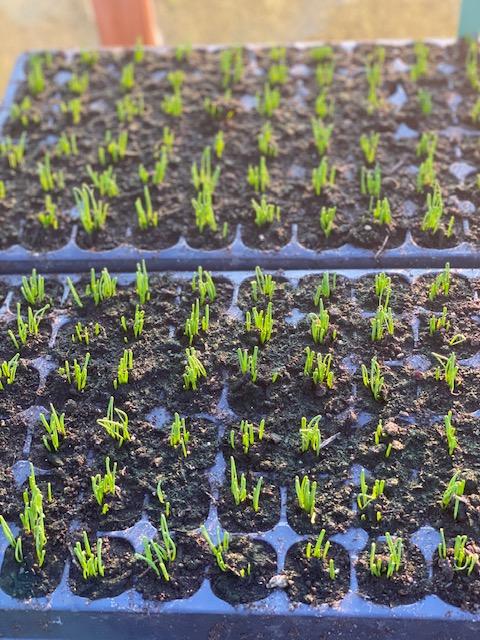 Spring onion seedlings