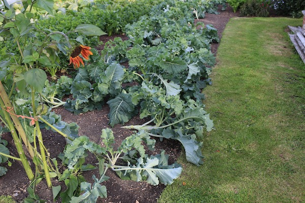 Windblown broccoli Claret F1 for cropping in spring, on 21st August