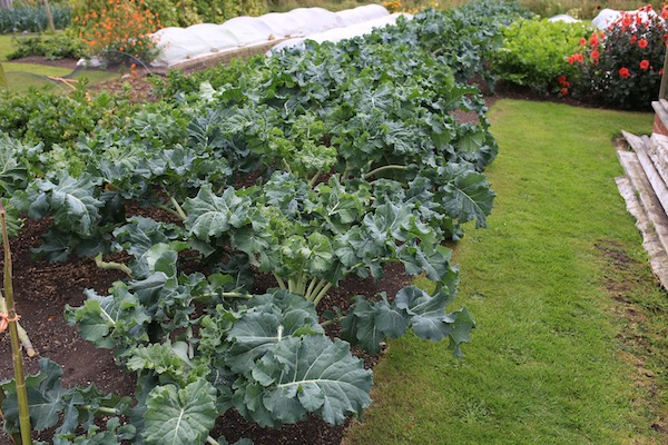 Same broccoli on 28th September