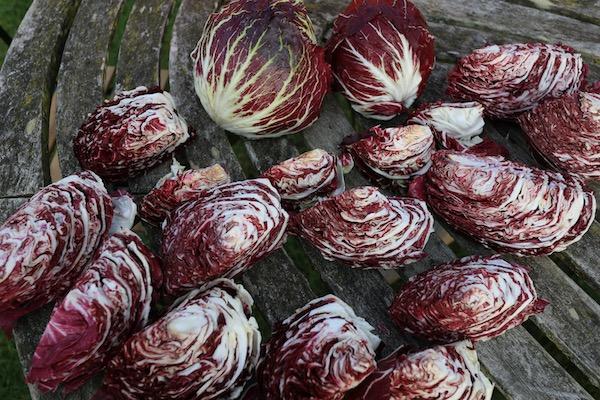 Chicory hearts (radicchio)
