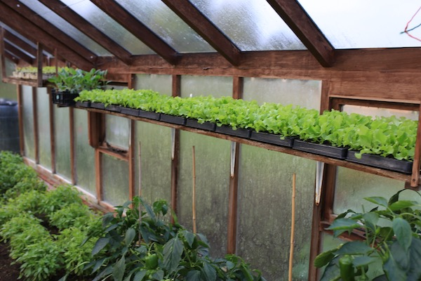 Lettuce plants on a shelf away from pests
