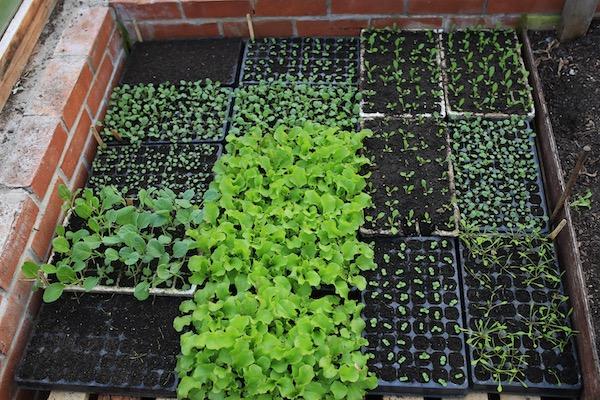 Lettuce 3 weeks old