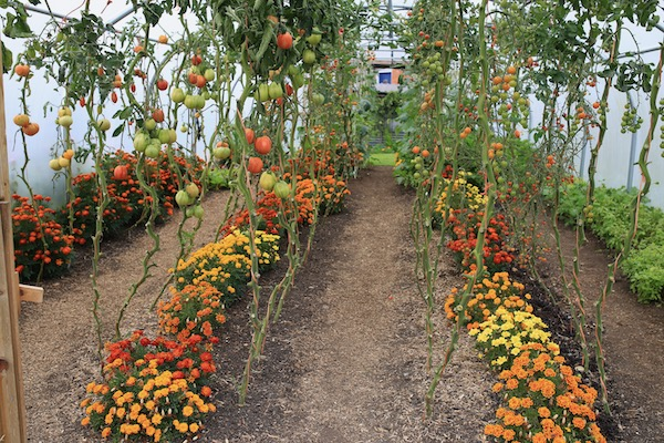 Polytunnel 28th September, still harvests to come
