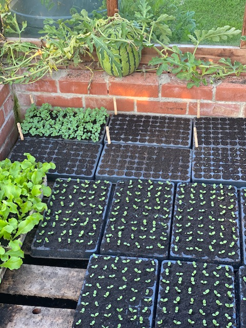Seedlings for autumn and winter