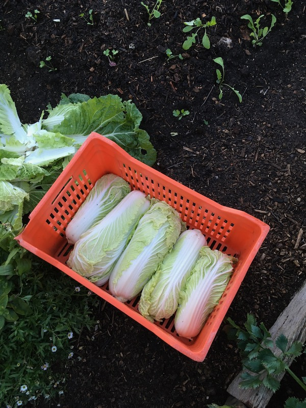 Harvest of the Chinese cabbage