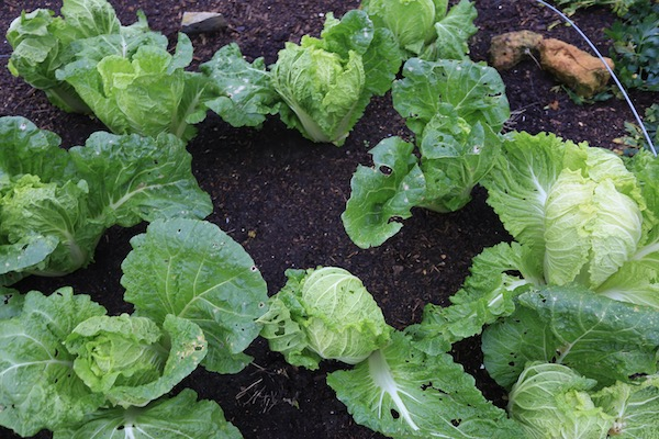 Chinese cabbage 88 days since sown and good hearts