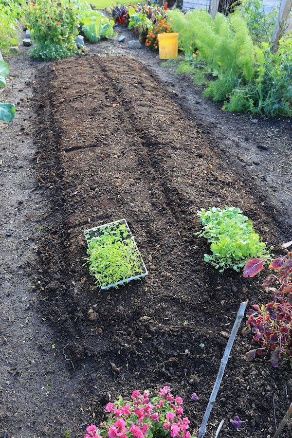 Bed cleared of lettuce and covered with compost