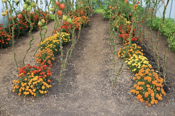28th September polytunnel tomatoes marigolds