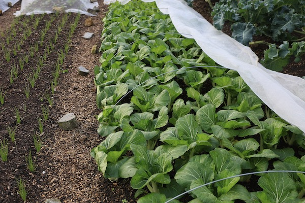 Pak choi 5 weeks in the ground