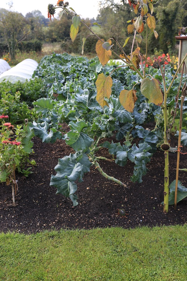Broccoli for spring, sown June