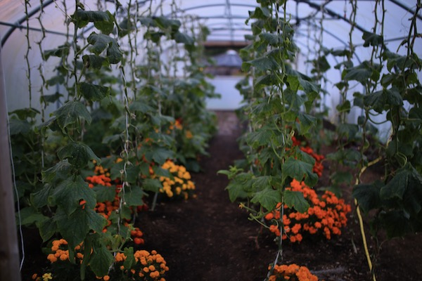 Polytunnel other end early October with cucumbers