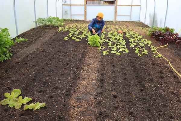 Chermayne planting Grenoble Red lettuce