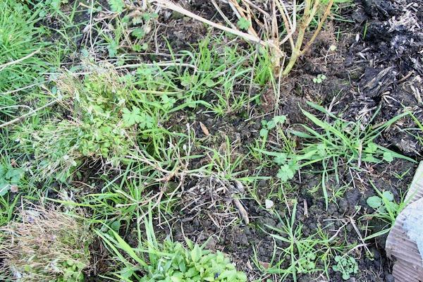 Mass of winter weeds, no mulch
