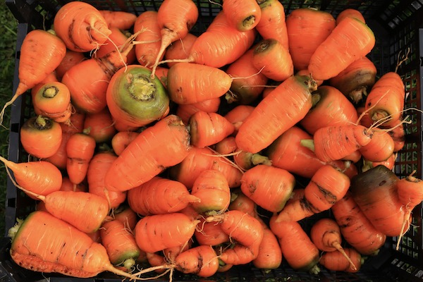 Harvest of the stumpy Oxhella carrots